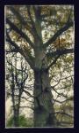 Tammepuu Pöide kandis.jpg -